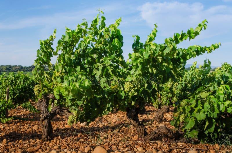 Виноградник на долине Роны около Авиньона в Франции стоковое фото rf