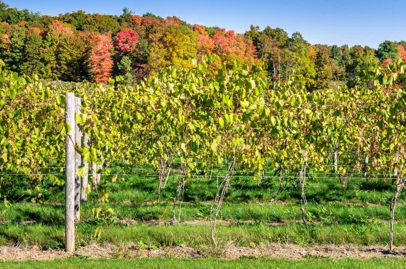 Виноградник на солнечном утре осени стоковое изображение