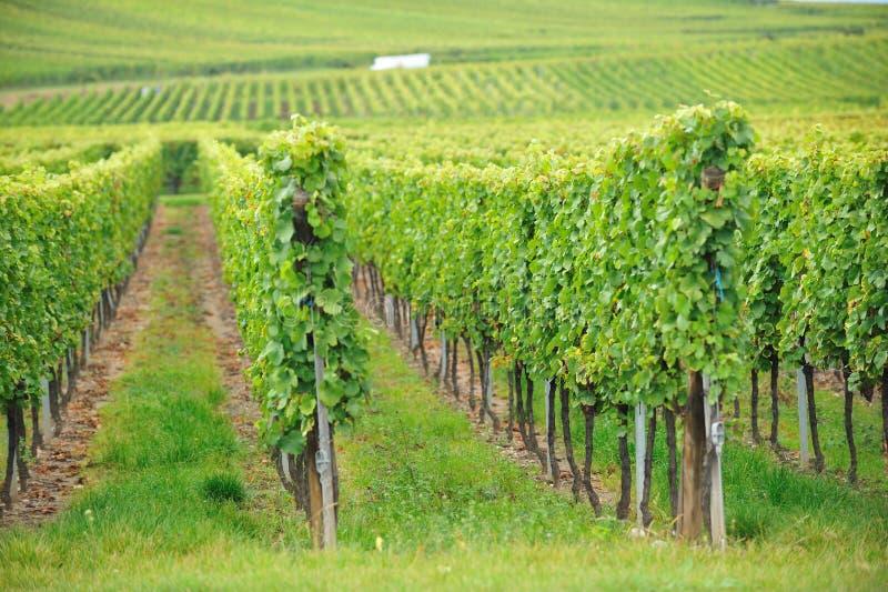 Виноградник на Эльзасе, Франции стоковое фото rf