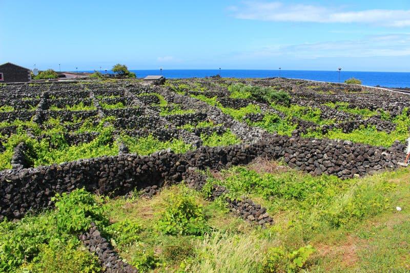 Виноградник приюченный от океана с вулканическим камнем стоковая фотография