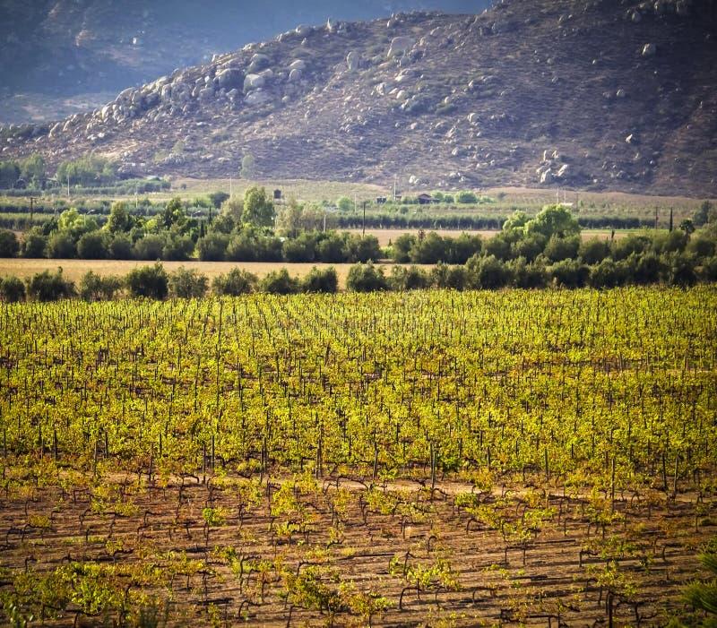 Виноградник, Guadalupe Valley, Baja, Мексика стоковая фотография