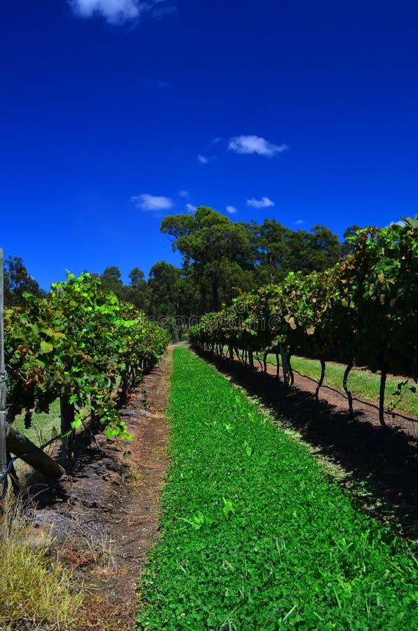 Виноградник Hunter Valley стоковое изображение