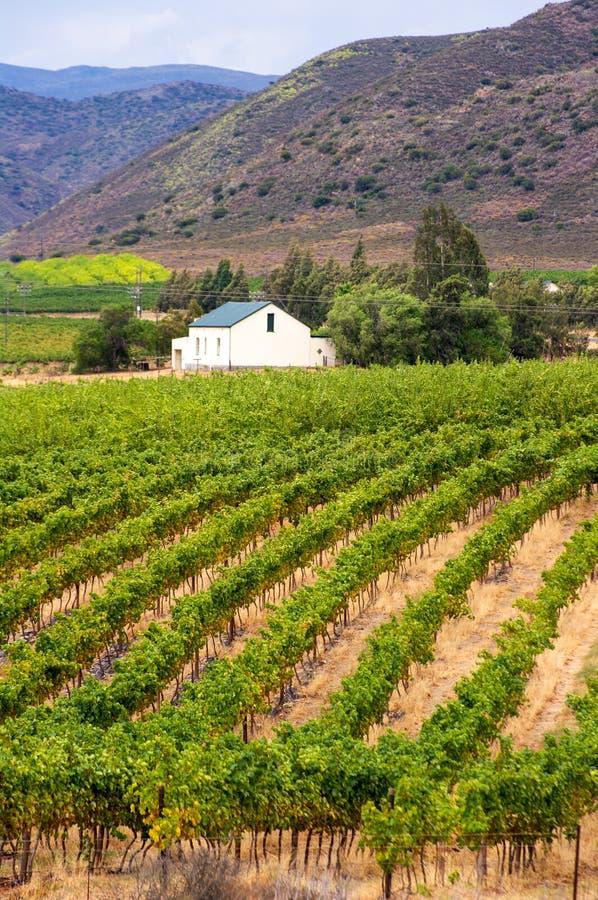 Виноградник, Montagu, Южная Африка стоковое изображение