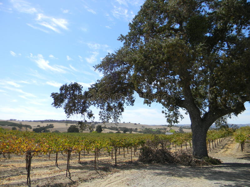 Виноградник Paso Robles стоковые фотографии rf