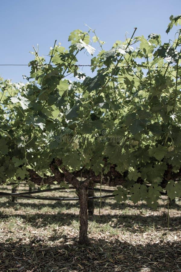 Виноградное вино в Napa Valley Калифорнии стоковое изображение