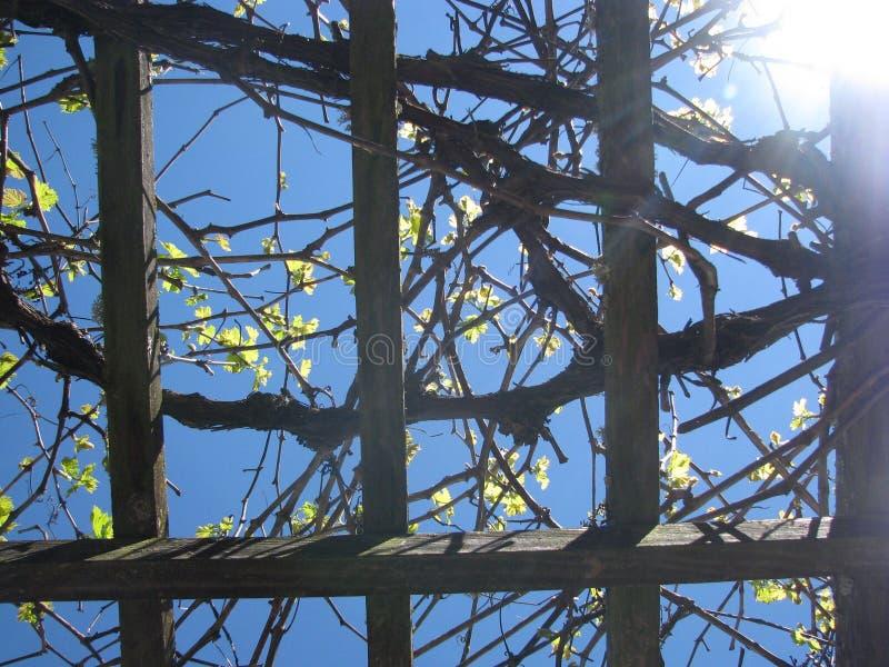 Виноградные лозы лета стоковое фото