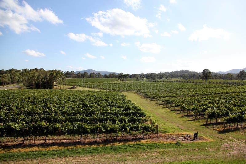 Виноградные лозы на винодельне стоковое изображение