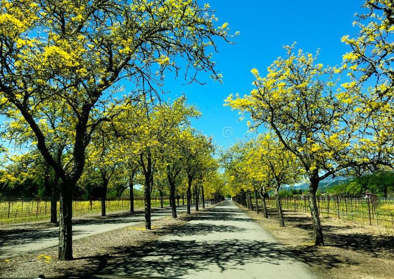 Винодельня Калифорния деревьев весны строки стоковое изображение rf