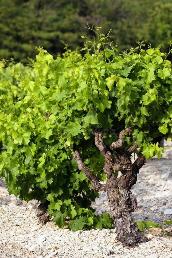 вино завода стоковые фотографии rf