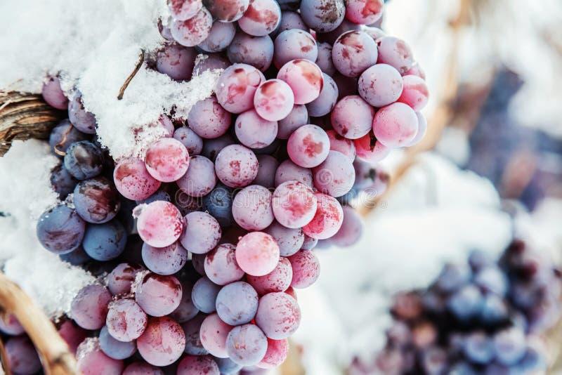 Вино льда Виноградины вина красные для вина льда в условии и снеге зимы стоковая фотография