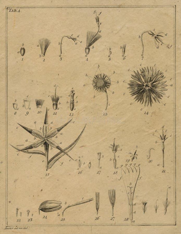 Винтажное поле ботаники замечает - иллюстрация ботаники - винтажные флористические иллюстрации - Scrapbook Papercrafting иллюстрация штока