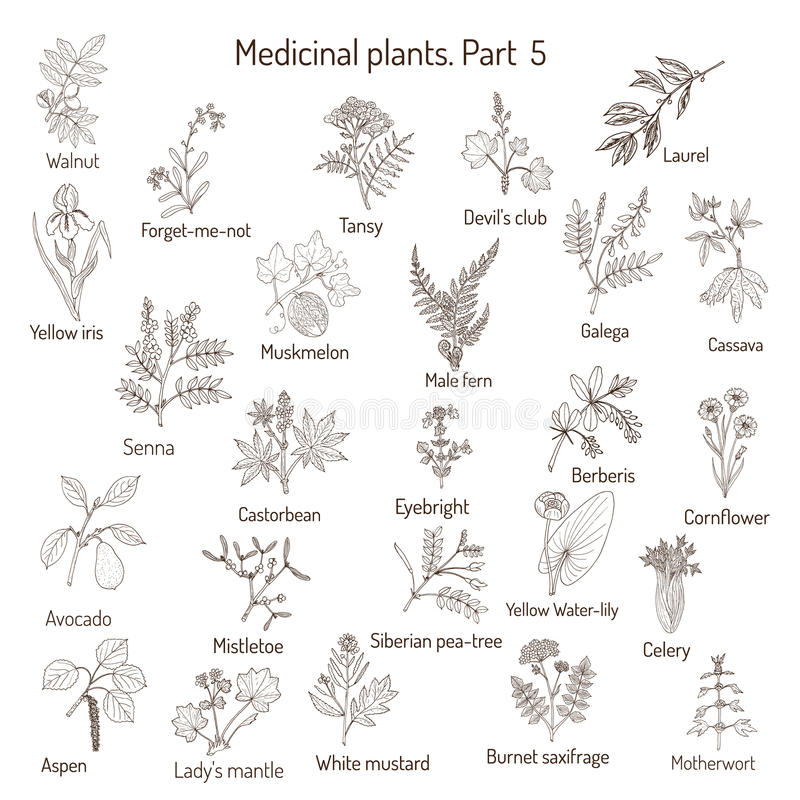 Винтажное собрание трав и заводов нарисованных рукой медицинских иллюстрация вектора