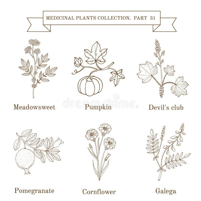 Винтажное собрание трав и заводов нарисованных рукой медицинских, meadowsweet, тыквы, клуба дьявола, pomergranate, cornflower иллюстрация штока