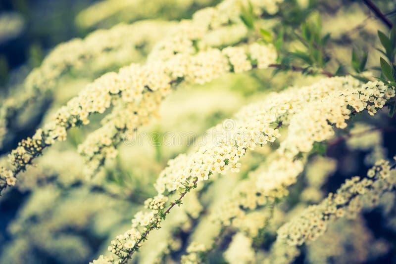 Винтажное фото белый зацветать spirea стоковая фотография rf
