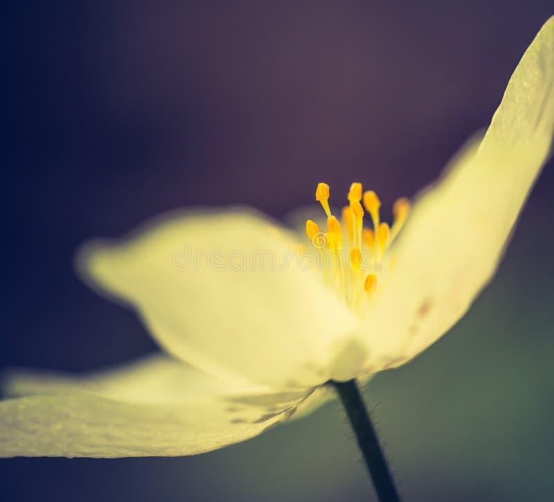 Винтажное фото белых цветков ветрениц стоковые фотографии rf