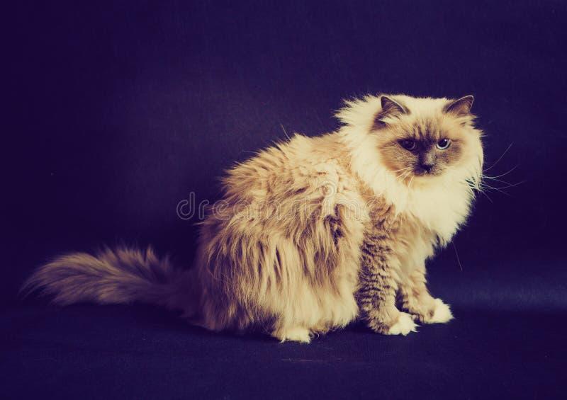 Винтажное фото красивого кота Masquerade Neva стоковые изображения