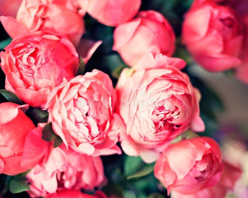 Винтажные розовые пионы стоковые фотографии rf