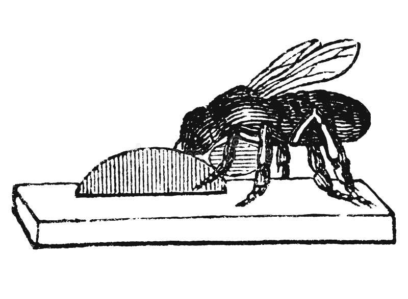 Винтажный рисовать вектора или античная гравируя иллюстрация гнезда или крапивницы работника пчелы меда строя от воска иллюстрация вектора
