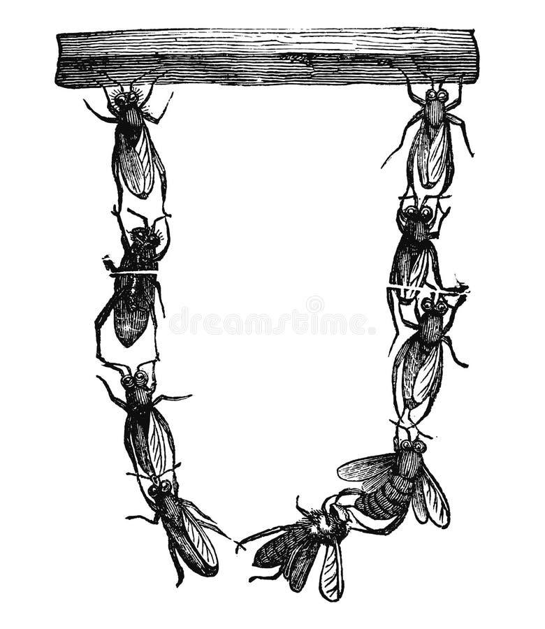 Винтажный рисовать вектора или античная гравируя иллюстрация группы в составе пчелы или пчелы меда начиная построить новое гнездо иллюстрация штока