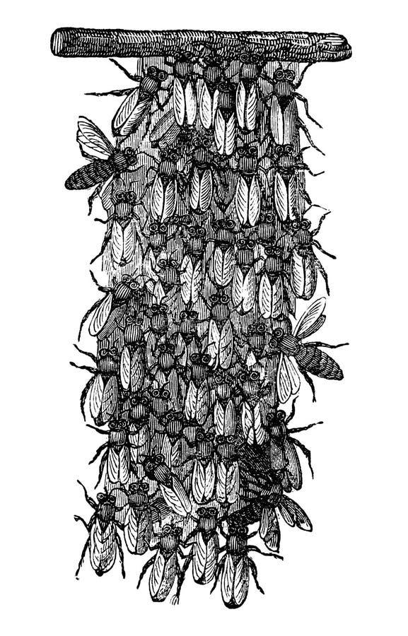 Винтажный рисовать вектора или античная гравируя иллюстрация роя пчел или пчел меда строят новое гнездо иллюстрация вектора