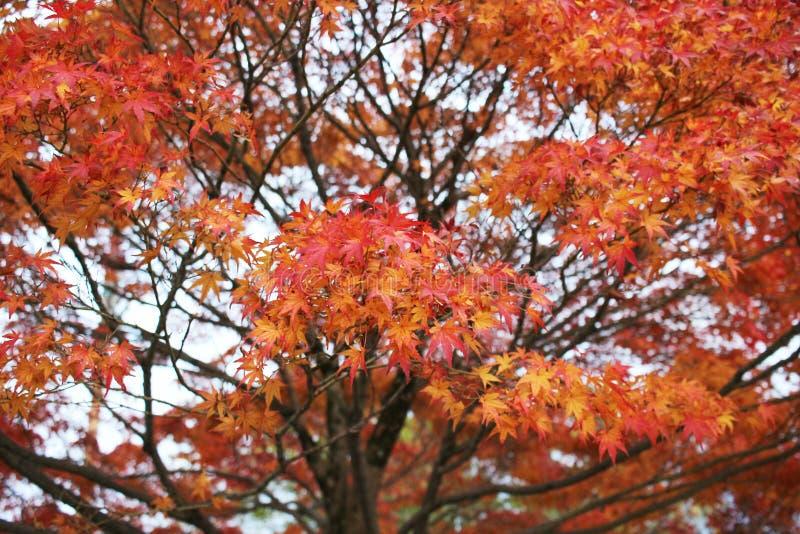 Висок Konkai Komyoji сада Дзэн Autam стоковые фотографии rf