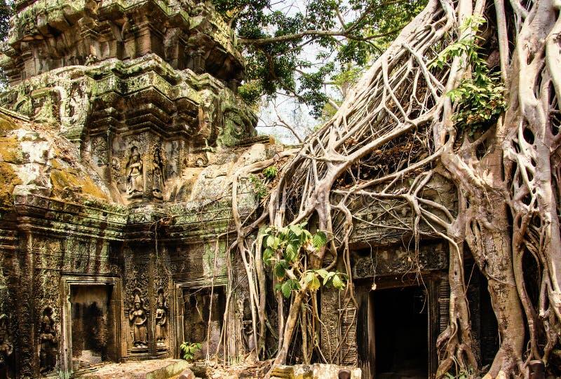 Висок Prohm животиков покрытый с баньянами angkor Камбоджа ужинает wat siem стоковые фото