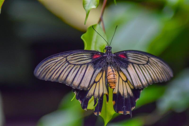 Вися красивая бабочка стоковые изображения rf