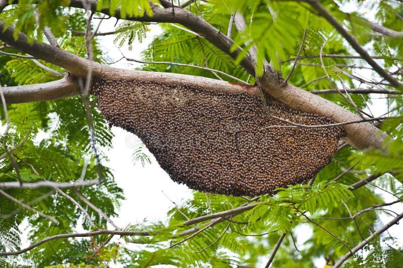 вися кулига honeybee стоковое изображение rf