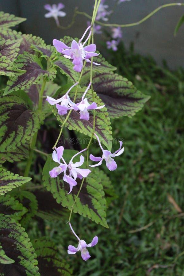 Вися пурпурная орхидея цвета как лозы стоковые фотографии rf