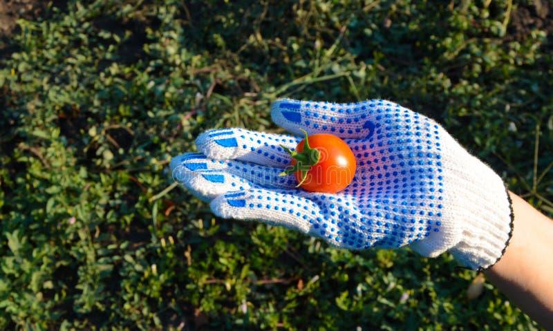 Витамин-богатые небольшие как раз общипанные томаты Еда, овощи, земледелие стоковые изображения rf