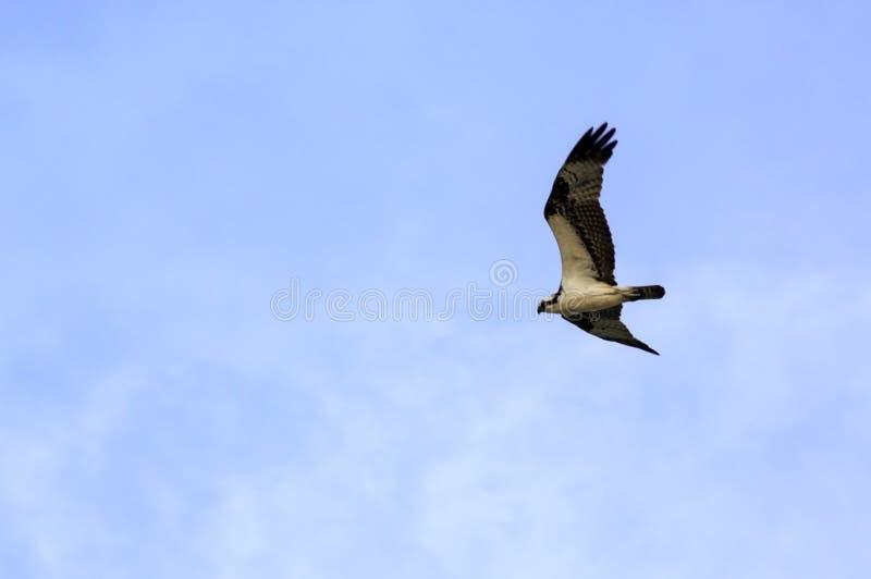 витать osprey стоковое изображение rf