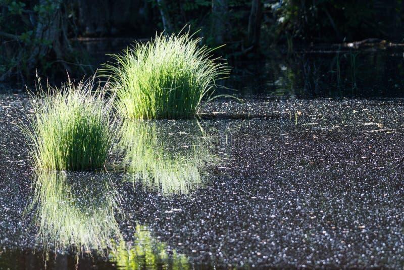 Вихоры зеленой травы в пруде стоковые фотографии rf