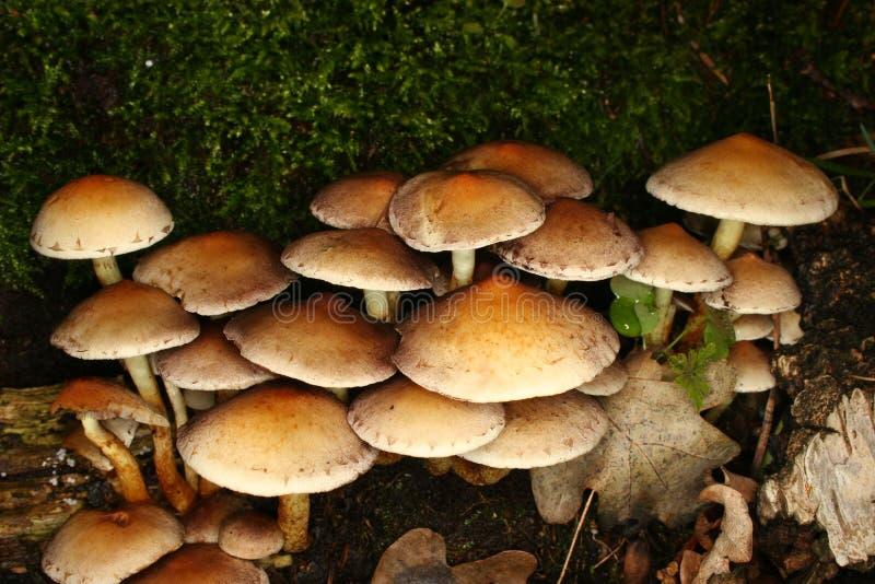 вихор серы Hypholoma Fasciculare Стоковая Фотография RF