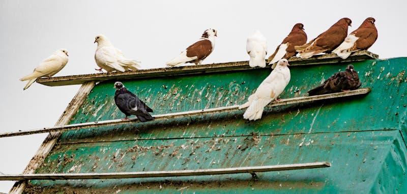 вихруны Стадо голубей на здании крыши стоковое изображение