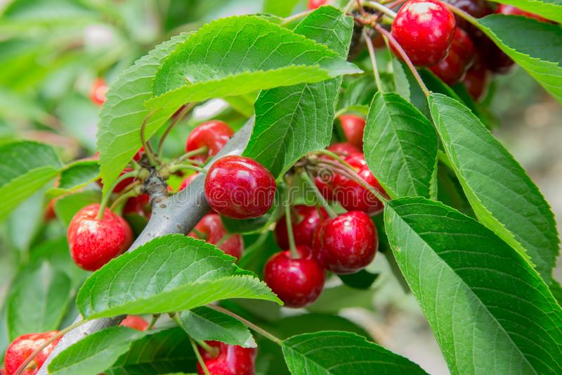 Вишневое дерево вишни в солнечном саде Вишни ветви вишневого дерева вися на дереве стоковые фото
