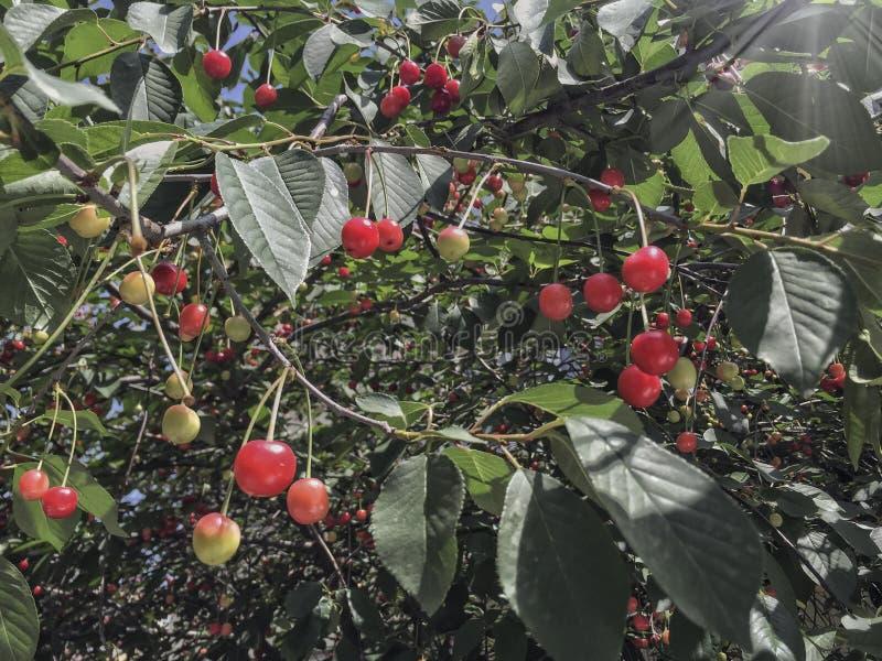 Вишневое дерево вполне красных вишен стоковое фото