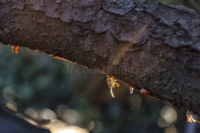 Вишневое дерево вполне смолы стоковое изображение rf