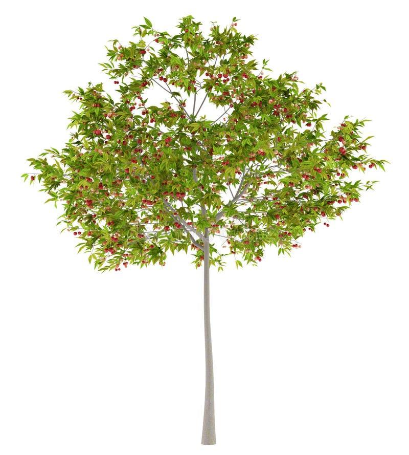 Вишневое дерево при вишни изолированные на белизне иллюстрация вектора