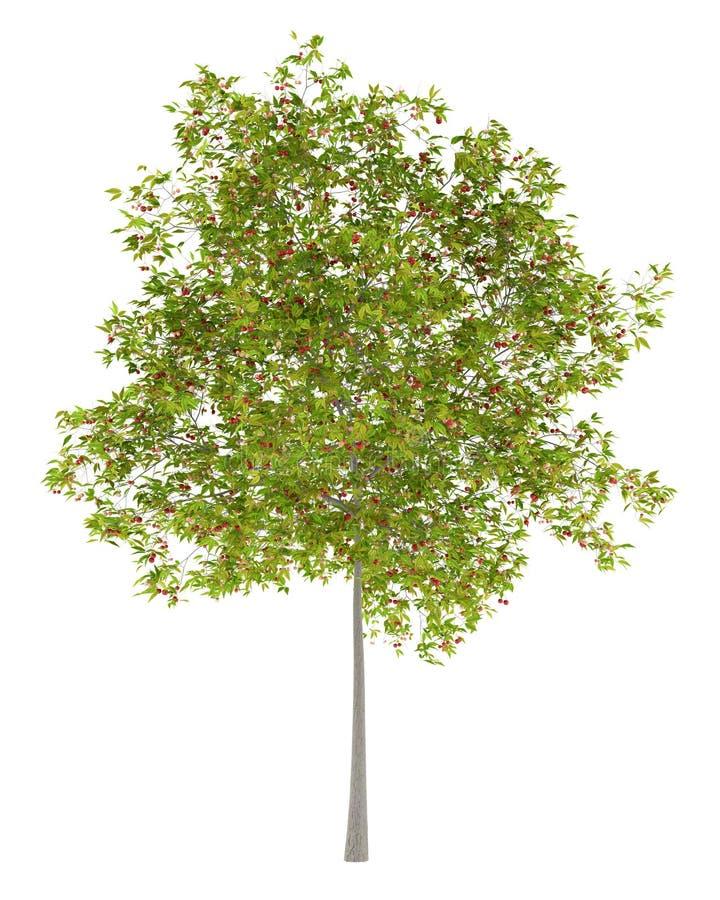 Вишневое дерево при вишни изолированные на белизне иллюстрация штока