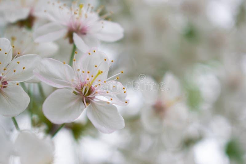 Вишневое дерево с белыми цветками для backgroudn стоковая фотография