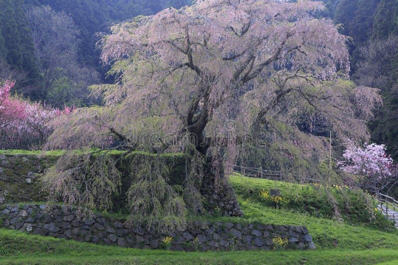 Вишневое дерево Matabee в Nar стоковое изображение