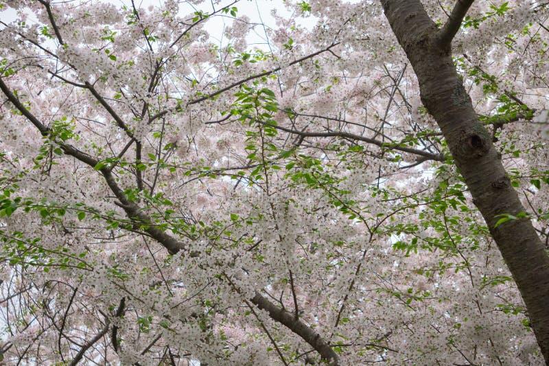 Вишневое дерево Yoshino в цветени стоковые фотографии rf
