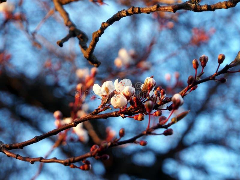 Вишневое дерево стоковая фотография