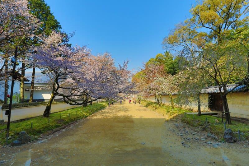 Вишневое дерево Daigoji зацветая стоковые изображения
