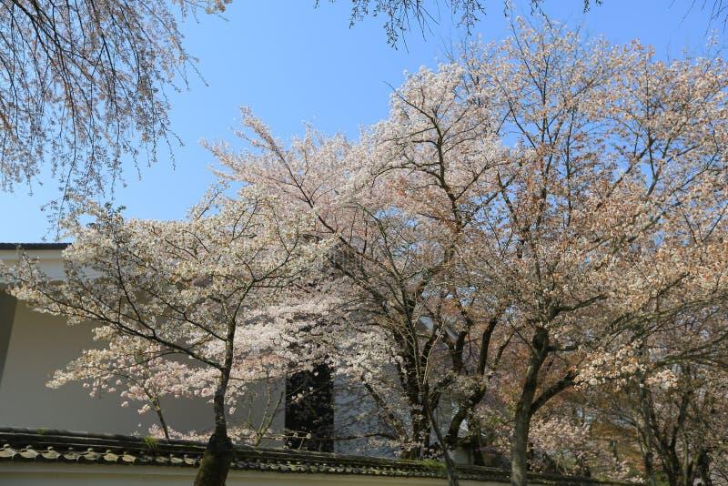 Вишневое дерево Daigoji зацветая стоковое изображение rf