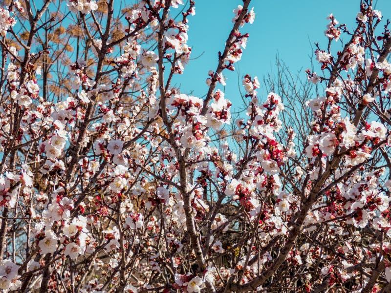 Вишневые деревья белый цвести стоковые фото