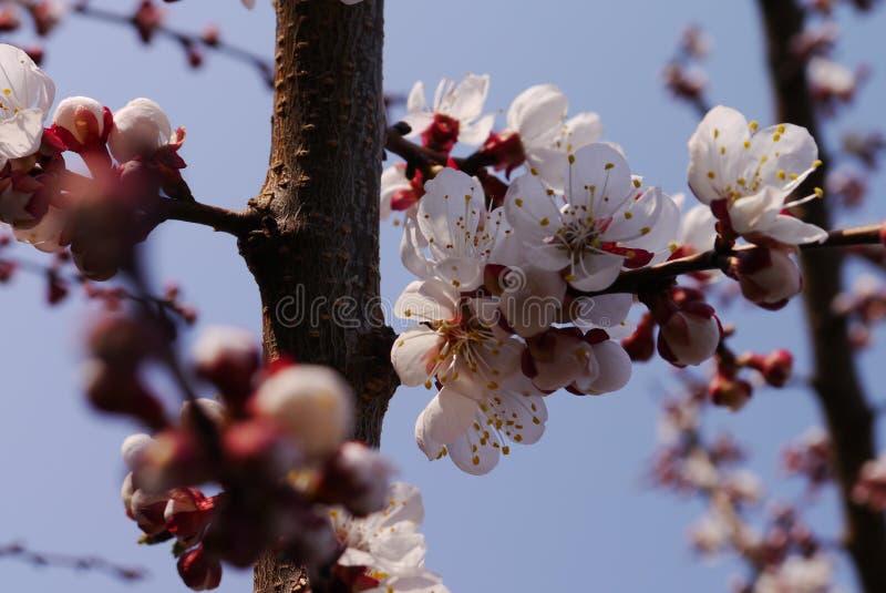 Вишневые цвета весны, розовые цветки стоковые фотографии rf