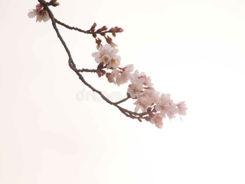 Вишневые цвета и blanch Yoshino в предпосылке неба стоковые изображения rf