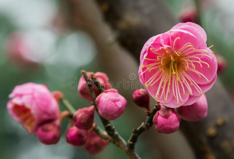 Вишневые цвета начиная зацветать на ветви в селективном фокусе стоковое изображение