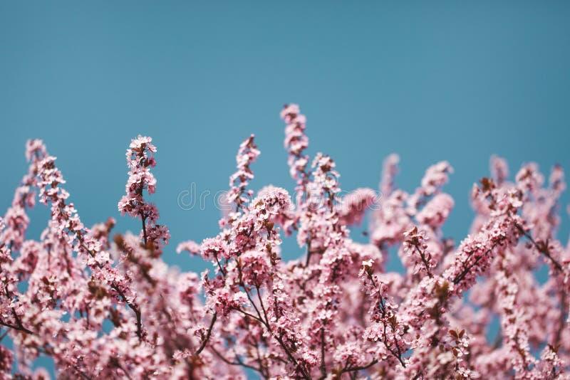 Вишневые цвета на ветвях стоковые изображения rf